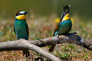 European bee-eater (Merops apiaster) two, one eating bumblebee, Sado Estuary, Portugal. May  -  Pedro  Narra