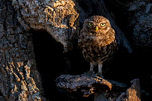 Little owl (Athene noctua) Sado Estuary, Portugal. May  -  Pedro  Narra