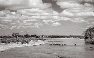 Black and white image of African elephant (Loxodonta africana) herd crossing river, Tsavo Conservation Area, Kenya. Editorial use only. Other uses need clearance.  -  Will Burrard-Lucas