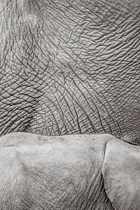 Black and white image of African elephant (Loxodonta africana) close up of skin of adult and calf, Tsavo Conservation Area, Kenya. Editorial use only. Other uses need clearance.  -  Will Burrard-Lucas