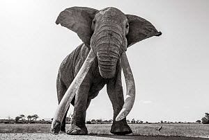 Black and white image of African elephant (Loxodonta africana) bull with extremely long tusks, Tsavo Conservation Area, Kenya. Taken with a remote camera buggy / BeetleCam. Editorial use only. Other u...  -  Will Burrard-Lucas