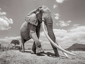 Black and white image of African elephant (Loxodonta africana) female with extremely long tusks, Tsavo Conservation Area, Kenya. Taken with a remote camera buggy / BeetleCam. Editorial use only. Other... - Will Burrard-Lucas