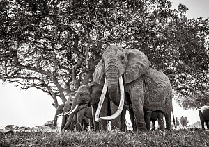 Black and white image of African elephant (Loxodonta africana) herd, females with extremely long tusks, Tsavo Conservation Area, Kenya. Taken with a remote camera buggy / BeetleCam. Editorial use only...  -  Will Burrard-Lucas