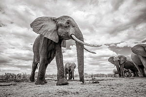 Black and white image of African elephant (Loxodonta africana) with extremely long tusks, Tsavo Conservation Area, Kenya. Taken with a remote camera buggy / BeetleCam. Editorial use only. Other uses n...  -  Will Burrard-Lucas