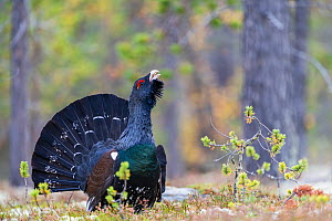 RF - Capercaillie (Tetrao urogallus) displaying in autumn. Rondane National Park, Norway. (This image may be licensed either as rights managed or royalty free.)  -  Erlend Haarberg