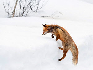 RF - Red fox (Vulpes vulpes) climbing on spring snow. Vaulden, Norway, April 2018. (This image may be licensed either as rights managed or royalty free.)  -  Erlend Haarberg