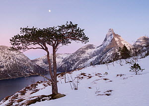 Snow-covered coastal mountain landscape with Scots pine (Pinus sylvestris) and Moon. Fjell, Norway, February. - Erlend Haarberg