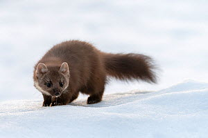 European pine marten (Martes martes) on spring snow. Vauldalen, Norway, April.  -  Erlend Haarberg