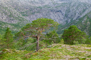Mountain landscape with Scots pine (Pinus sylvestris) forest. Tjongsfjord, Norway, July. - Erlend Haarberg