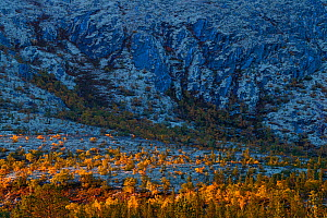 Yellow-coloured Mountain birch (Betula pubescens) trees lit by early morning light.Grimsdalen, Fjell, Norway.  -  Erlend Haarberg