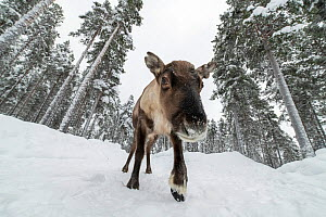 Semi-domesticated reindeer (Rangifer tarandus) walking on snow-covered road in pine forest. Lapland, Sweden. February. - Erlend Haarberg
