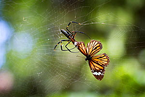 RF - Golden orb-web spider (Nephila pilipes) spider snipping Common tiger butterfly (Danaus genutia) out of web. The butterfly contains toxins that make it distasteful to the spider releases it from w...  -  Paul Williams