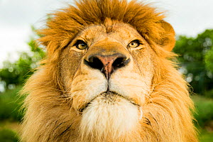RF - Lion (Panthera leo) portrait, looking proud, Captive (This image may be licensed either as rights managed or royalty free.)  -  Paul Williams