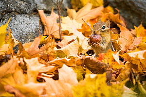 RF - Eastern chipmunk (Tamias striatus) among autumn leaves on an old stone wall, New England, USA (This image may be licensed either as rights managed or royalty free.)  -  Paul Williams