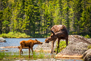 RF - Female Moose (Alces alces) and calf, Baxter state park, Maine, USA (This image may be licensed either as rights managed or royalty free.) - Paul Williams