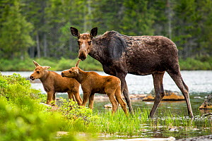 RF - Female Moose (Alces alces) and calves, Baxter state park, Maine, USA (This image may be licensed either as rights managed or royalty free.) - Paul Williams