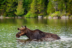RF - Male Moose (Alces alces), Baxter state park, Maine, USA (This image may be licensed either as rights managed or royalty free.) - Paul Williams