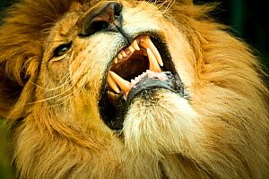 Lion (Panthera leo) close up of teeth while its snarling, captive. - Paul Williams