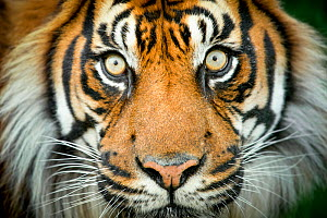 Sumatran tiger (Panthera tigris tigris / Panthera tigris altaica) close up portrait, captive. - Paul Williams