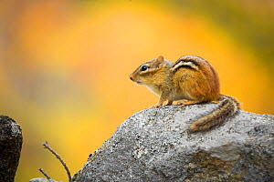 Eastern chipmunk (Tamias striatus) in autumn, on an old stone wall, New England, USA  -  Paul Williams