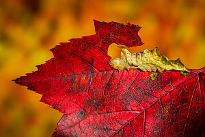 Red-washed moth caterpillar (Oligocentria semirufescens) camouflaged on red maple leaf. New England, USA, October.  -  Paul Williams