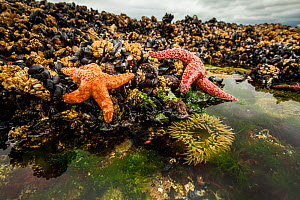 Ochre starfish (Pisaster ochraceus) California mussel (Mytilus californianus) and Giant green anenome (Anthopleura xanthogrammica) in rock pool, Vancouver Island, British Columbia, Canada. July.  -  Paul Williams