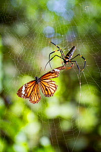 Nephila pilipes spider and common tiger butterfly (Danaus genutia). The butterfly contains toxins that make it distateful to the spider, so the spider snips the butterfly out of its web and releases i... - Paul Williams