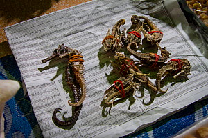 Seahorses for sale at the night market, Kota Kinabalu, Borneo - Paul Williams