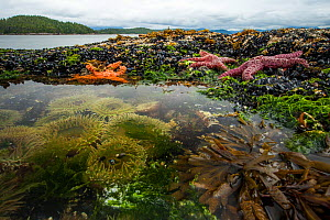 Ochre starfish (Pisaster ochraceus) Goose barnacles (Pollicipes polymerus) California mussel (Mytilus californianus) and Giant green anenome (Anthopleura xanthogrammica) in rock pool, Vancouver Island...  -  Paul Williams