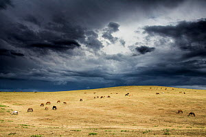 Horses grazing in steppe grassland, Altanbulag, Mongolia. - Paul Williams