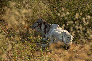 Cow lying wounded after a jaguar attack on a ranch Pantanal, Brazil. - Luke Massey