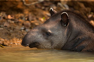 South American tapir (Tapirus terrestris) wades through a river Pantanal, Brazil. - Luke Massey
