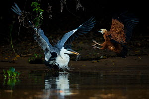 Cocoi heron (Ardea cocoi) with Catfish prey (Loricariidae) attacked by Black collared hawk (Busarellus nigricollis) Pantanal, Brazil..  -  Luke Massey