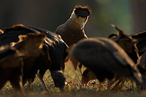 Crested caracaras (Caracara cheriway) fighting over food Pantanal, Brazil..  -  Luke Massey
