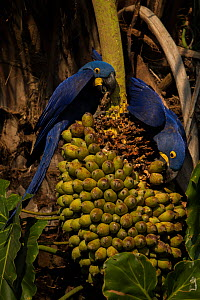 Hyacinth macaws ((Anodorhynchus hyacinthinus) feed on palm nuts, Pantanal, Brazil. - Luke Massey