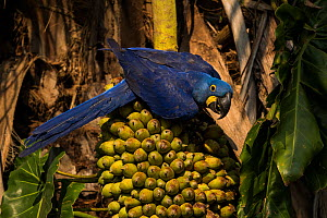 Hyacinth macaw (Anodorhynchus hyacinthinus) feeding on palm nuts, Pantanal, Brazil. - Luke Massey