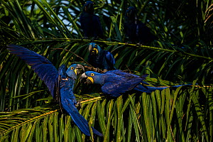 Hyacinth macaws (Anodorhynchus hyacinthinus) fight in palm tree, Pantanal, Brazil. - Luke Massey