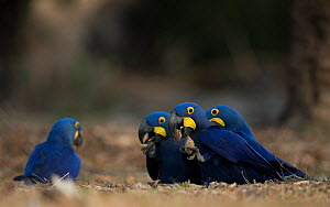 Hyacinth macaws (Anodorhynchus hyacinthinus) feed on palm nuts, Pantanal, Brazil. - Luke Massey
