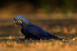 Hyacinth macaw (Anodorhynchus hyacinthinus) feed on palm nuts, Pantanal, Brazil. - Luke Massey