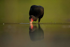 A Bare faced ibis (Phimosus infuscatus) feeds in water Pantanal, Brazil. - Luke Massey