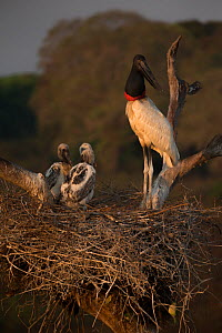 Jabiru stork (Jabiru mycteria) male at the nest with its chicks, Pantanal, Brazil. - Luke Massey
