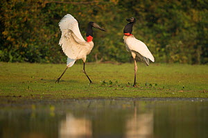 Jabiru storks (Jabiru mycteria) pair, courtship at water's edge, Pantanal, Brazil.  -  Luke Massey