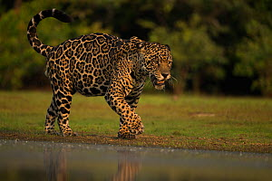Jaguar (Panthera onca) male walking along water's edge, Pantanal, Brazil.  -  Luke Massey