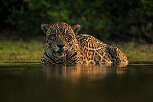 Jaguar (Panthera onca) male cooling off in a waterhole at a cattle ranch. The ranch owner is paid compensation by a tour operator for each cattle killed by jaguars, the waterhole will soon be opened u... - Luke Massey