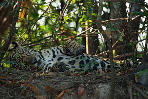 Jaguar (Panthera onca) rests on a river bank, Pantanal, Brazil.  -  Luke Massey