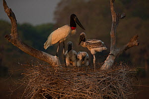 Jabiru stork (Jabiru mycteria) male at the nest, feeding its chicks, Pantanal, Brazil. - Luke Massey