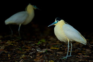 Capped heron ( Pilherodius pileatus) hunting for food, Pantanal, Brazil.  -  Luke Massey