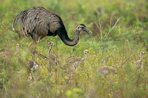 Rhea (Rhea americana) male with his chicks, Pantanal, Brazil.  -  Luke Massey