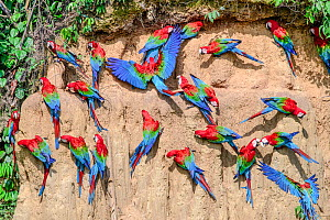 Red-and-green macaw (Ara chloropterus) flock feeding at wall of clay lick. Manu Wildlife Center, Manu Biosphere Reserve, Amazonia, Peru.  -  Nick Garbutt