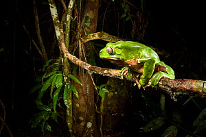 Giant monkey frog / leaf frog (Phyllomedusa bicolor) sitting on branch at nighht in canopy. Lowland Amazon rainforest, Manu Biosphere Reserve, Peru.  -  Nick Garbutt